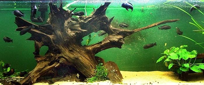 Коряга для аквариума из какого дерева